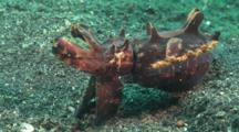 Flamboyant Cuttlefish, Metasepia Pfefferi, Waits, Poised On Sand