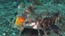 Fingered Dragonet (Female), Dactylopus Dactylopus, Displays Bright Orange Top Lip