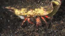 White-Spotted Hermit Crab, Dardanus Megistos, Walks Sideways Over Dark Sand