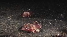 Pair Of Spiny Flatheads (Midget Flathead), Onigocia Spinosa, Lying In Dark Sand