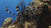 Red Lionfish (Common Lionfish), Pterois Volitans, With Spines Spread. Side View