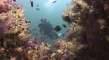 Scuba Diver Watches Reef Covered In Dendronephthya Soft Corals (Carnation Coral)
