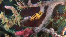 Tiger Egg Cowry, Cuspivolva Tigris, On Gorgonian Sea Fan