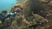 Underwater Videographer Videos Pair Of Pharaoh Cuttlefish, Sepia Pharaonis