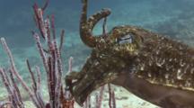 Pharaoh Cuttlefish, Sepia Pharaonis, Raises Tentacles To Mimic Gorgonian Sea Whips