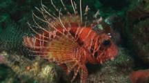 Frillfin Turkeyfish (African Lionfish), Pterois Mombasae