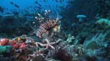 Group Of Red Lionfish (Pterois Volitans) Or Devil Firefish (Pterois Miles) On Reef With Spines Spread