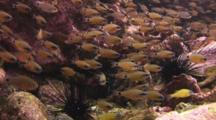 School Of Flower Cardinalfish, Ostorhinchus Fleurieu, With Black Longspine Urchins