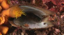 Damsel, Pristotis Sp, Shelters In Empty Oyster Shell With Snail And Orange Cup Coral
