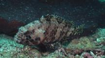 Longfin Grouper, Epinephelus Quoyanus, At Rest With Juvenile Bluestreak Cleaner Wrasse