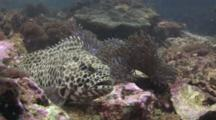 Longfin Grouper, Epinephelus Quoyanus, Looks Nervously At Camera
