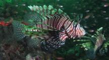 Red Lionfish (Pterois Volitans) Or Devil Firefish (Pterois Miles) In Deep Green Water