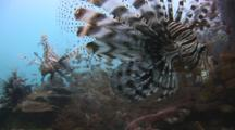 School Of Red Lionfish (Pterois Volitans) Or Devil Firefish (Pterois Miles) With Fins Spread