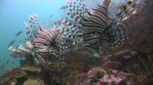 Pair Of Red Lionfish (Pterois Volitans) Or Devil Firefish (Pterois Miles)
