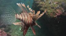 Red Lionfish (Pterois Volitans) Or Devil Firefish (Pterois Miles). Rear View Showing Tail (Caudal Fin)