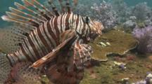 Red Lionfish (Pterois Volitans) Or Devil Firefish (Pterois Miles) Over Coral Reef. Side View