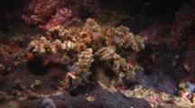 Spider Decorator Crab, Camposcia Retusa, Crawls Over Reef