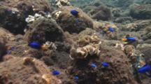 Neon Damselfish (Blue Damsels), Pomacentrus Coelestis, Amongst Sandy Boulders