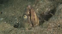Snake Eel, Head Sticking Out Of Sand Burrow