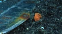 Tiny Juvenile Painted Frogfish, Antennarius Pictus, Next To Dive Knife