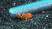 Tiny Juvenile Painted Frogfish, Antennarius Pictus, Walks Next To Steel Pointer, Opens Mouth To Warn Crab