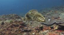 Broadclub Cuttlefish, Sepia Latimanus, Changes Color And Extends Tentacles