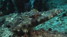 Crocodile Fish, Cymbacephalus Beauforti, Looks At Camera