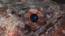 Variegated Lizardfish, Synodus Variegatus. Close Up Of Eye