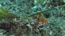 Orange-Black Dragonet, Dactylopus Kuiteri, Walks Over Volcanic Sand Displaying Orange Upper Lip