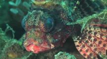 Dwarf Lionfish, Dendrochirus Brachypterus. Close Up Of Head
