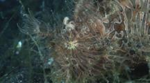 Striated Frogfish (Hairy Frogfish), Antennarius Striatus, Walking Slowly Over Volcanic Sand