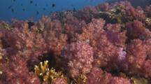 Reef Covered In Dendronephthya Soft Coral (Carnation Coral) And Fire Coral, Millepora Sp.