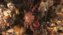 Common Decorator Crab, Schizophrys Aspera, Pushes Past Longlegged Spiny Lobster, Panulirus Longipes