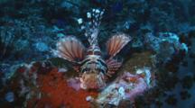 Zebra Lionfish, Dendrochirus Zebra, Resting On Rocky Reef