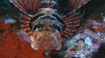 Zebra Lionfish, Dendrochirus Zebra, Resting On Rocky Reef. Close Up Of Head