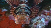 Zebra Lionfish, Dendrochirus Zebra, Resting On Rocky Reef. Close Up Of Head