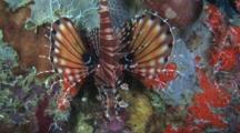 Zebra Lionfish, Dendrochirus Zebra, Resting On Reef With Pectoral Fins Spread