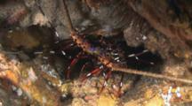 Longlegged Spiny Lobster, Panulirus Longipes, Retreats Into Hole In Cave Wall