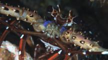 Longlegged Spiny Lobster, Panulirus Longipes. Close Up Of Eyes And Face
