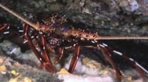 Longlegged Spiny Lobster, Panulirus Longipes, Walking Sideways In Cave