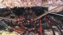Longlegged Spiny Lobster, Panulirus Longipes, Hiding Under Ledge In Cave