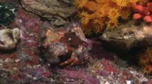 Anemone Hermit Crab, Dardanus Pedunculatus, Walks Past Orange Cup Corals