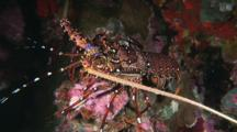 Longlegged Spiny Lobster, Panulirus Longipes, Walks Over Reef