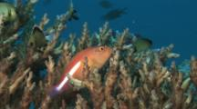Arc-Eye Hawkfish, Paracirrhites Arcatus, In Staghorn Coral, Acropora Sp., With Reticulated Dascyllus