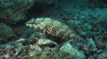 Honeycomb Grouper, Epinephelus Merra, Camouflaged On Dead Coral Rubble