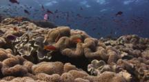 Reef Of Mushroom Leather Coral, Sarcophyton Trocheliophorum, With Lyretail Anthias