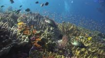 Coral Reef Of Leather Coral, Sinularia Sp., With Lyretail Anthias And Bullethead Parrotfish