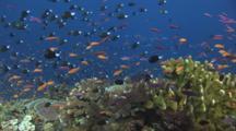 School Of Reticulated Dascyllus, Dascyllus Reticulatus, And Lyretail Anthias Over Coral Reef