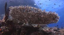 Hoeksema's Staghorn Coral, Acropora Hoeksemai, And Scuba Divers