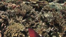 Coral Grouper, Cephalopholis Miniata, Swims Over Hard Coral Reef Top